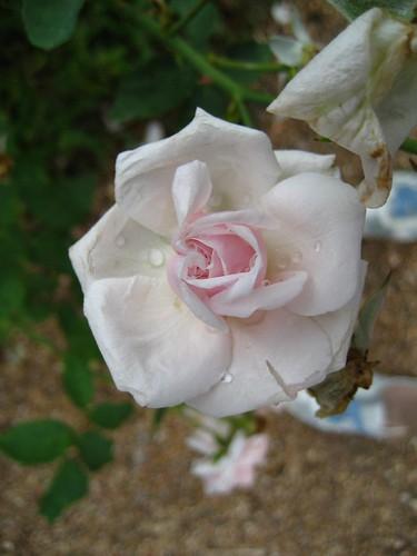 Antique Rose Emporium | by therangonagin