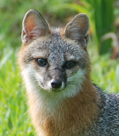 Fox in my backyard | Close up of this frequent visitor ...