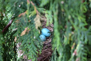 Robin eggs | by Piero Sierra