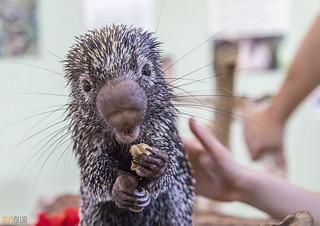 Rothschild's porcupine Gamboa Wildlife Rescue pandemonio 2017 - 09 | by Eva Blue