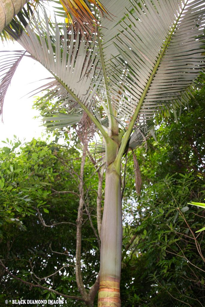Archontophoenix purpurea - Purple Alexandra Palm, Mount Le ...