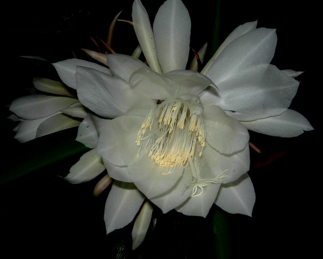 Epiphyllum oxypetalum, a hot southern night