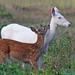 Albino Whitetail Deer Mother Nature's Big Surprise by Lifeinthenorthwoods.com