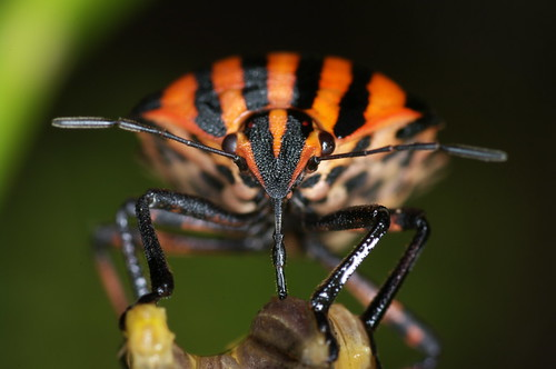 Punaise arlequin / Striped Shield Bug