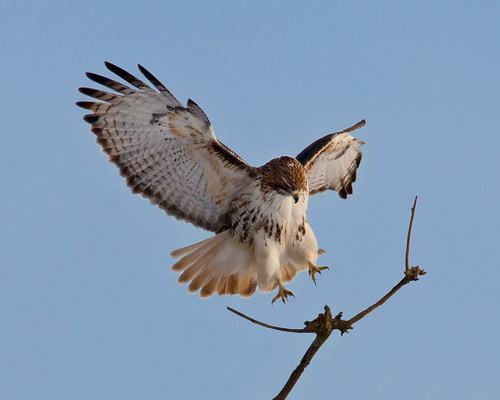 kh0831 alpha birdphoto avianexcellence bird xplr 411 nj