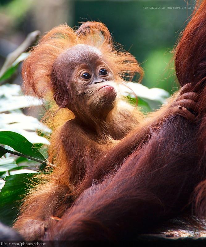Baby Orang Utan, Singapore Zoo (#71)