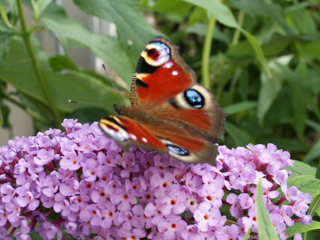 Drin grünet der Schmetterling am manch seliges Plätzchen, drin blühet manch lieblicher Strauß, da pflege ich mein friedliches Gärtchen in Dresden und schmücke es gar sorglich aus 220