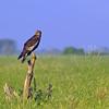 African Marsh Harrier by jay_kilifi