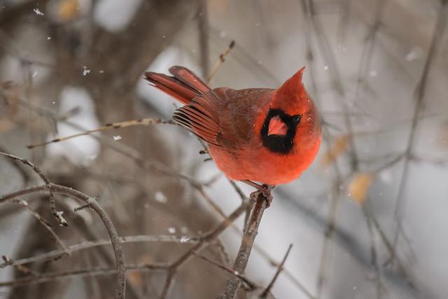 Cardinal - 9030