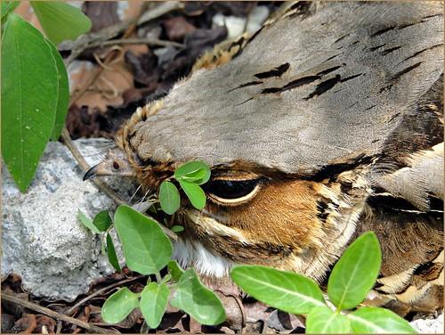 bacurau (Nyctidromus albicollis) | by jarbas mattos