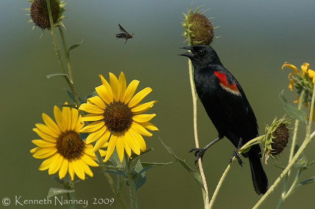 RED-WINGED BLACKBIRD 9