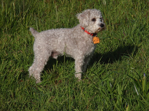 Moose in Mendocino Grass (schnoodle)