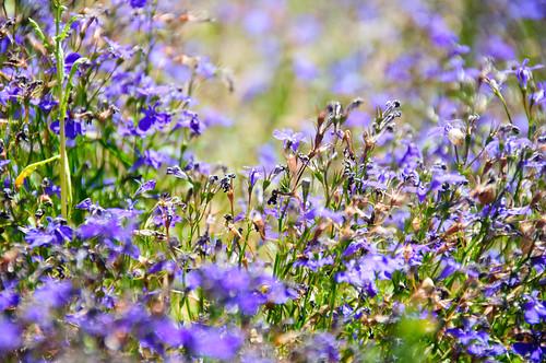 california flowers usa unitedstates mountainview