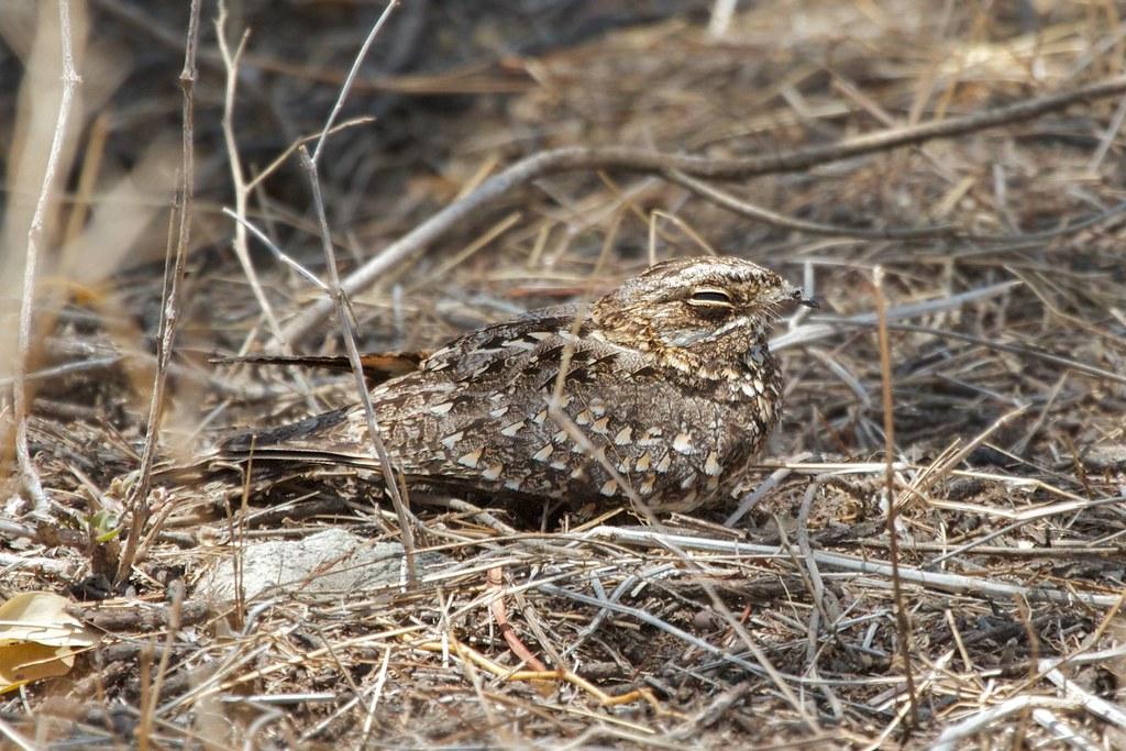 Sombre Nightjar (Caprimulgus fraenatus) | Ethiopa, Rift Vall