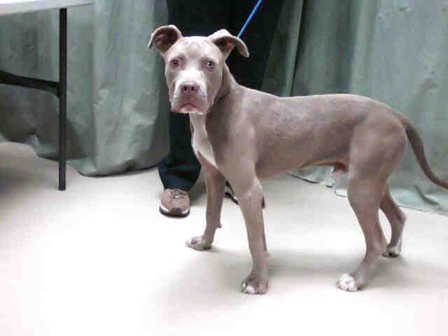 Silver Blue Fawn Male Pit Bull Terrier | Yet another blue gr