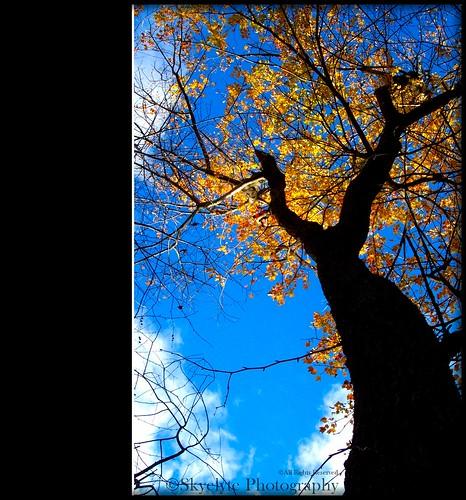 autumn fall golden yellow blue sky tree clouds glowing newengland dcp1904 leaves foliage autumninnewengland takenfromwetlandsbehindmyyard october62006 mygearandme mygearandmepremium mygearandmebronze metaphysical energy expression expressionofnature quantumentanglement quantummechanics
