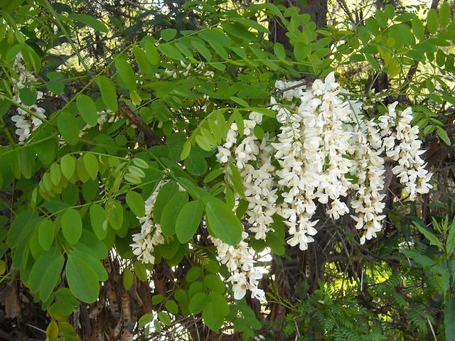 Acacio árbol | El acacio (Robinia pseudoacacia), es un