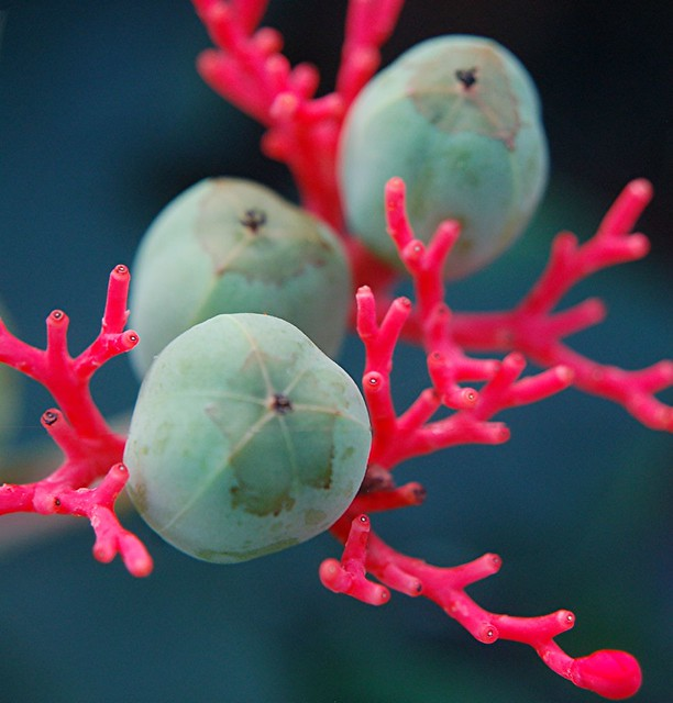 Astounding colors of glowing Coral Plant and its wondrous turquoise seeds