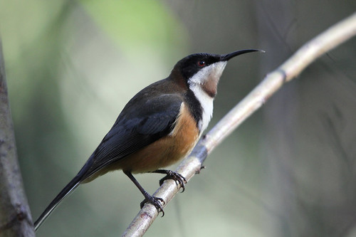 Eastern Spinebill | by boombana