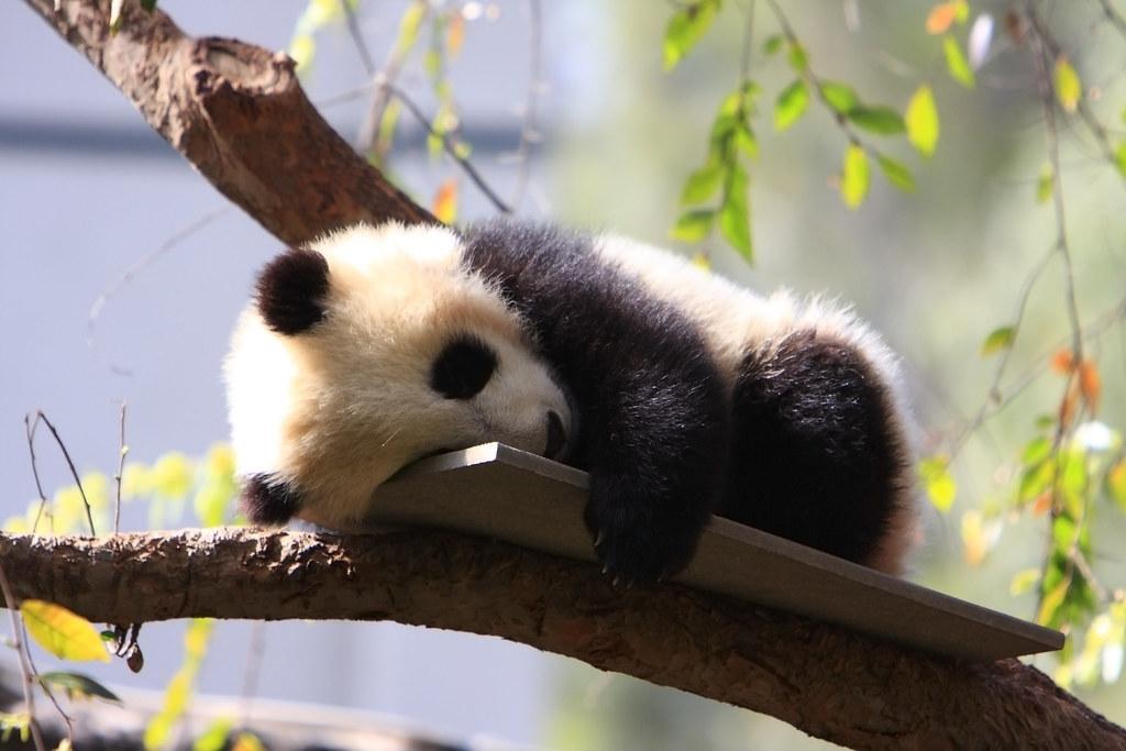 Baby Panda Bear Cub