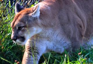 Western Cougar (20091020-111250-PJG) | by DrgnMastr