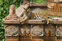 Bengal Tiger | by nwtransplant