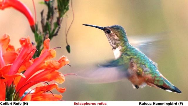 Colibrí Rufo (H)