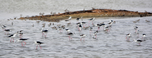 WEST AFRICA:   WADING BIRDS CALLED AVOCETS AND PLOVERS.   WALVIS BAY, NAMIBIA, AFRICA