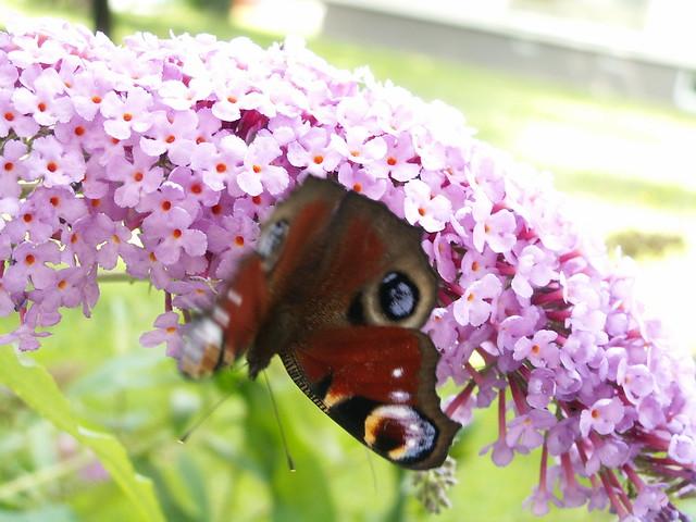 Kleiner Schmetterling, lockt der erste Sonnenstrahl Blumen aus dem Grunde, kleine Lerche, wieder mal bringst du frohe Kunde, bringst sie für mein Liederherz, und es folgt dir gerne, jubelnd steigst du himmelwärts in die gold'ne Ferne nach Dresden 096