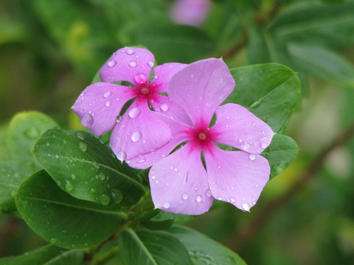 pink flower texas wildflower phlox shiner texaswildflower mlhradio pointedphlox phloxcuspidatascheele