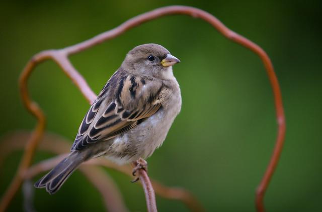 Polish Popular Bird