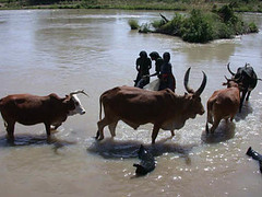 Oct/2009 - Additional herds coming to a drinking site Site: Awash River Basin (Batu Degaga), Oromia (photo credit: ILRI).