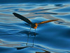 White-vented Storm-Petrel (Oceanites gracilis) by David Cook Wildlife Photography