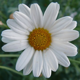 A Daisy for Daisy | by Lynne Hand