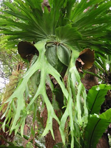 Staghorn fern   by gooseflesh