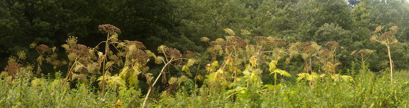 Giant Hogweed These were 8-10 ft tall. Wanborough to Godalming