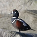Flickr photo 'Harlequin Duck' by: Rick Leche.