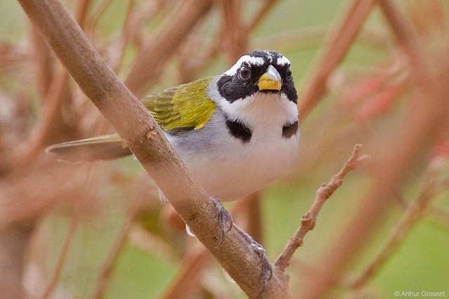 Arremon franciscanus - San Francisco Sparrow