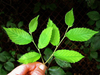 Ulmus rubra - Slippery Elm young leaves   by Virens (Latin for greening)