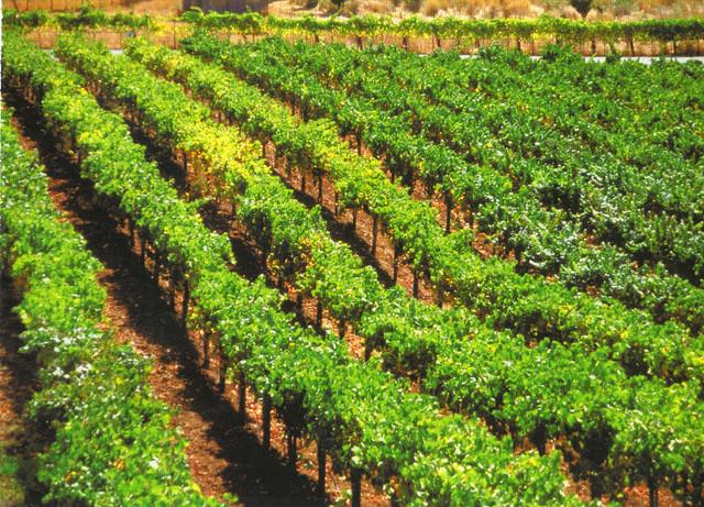 St. Supery Vineyards & Winery Postcard