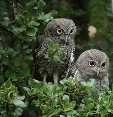 Screech owl pair | by norasilk