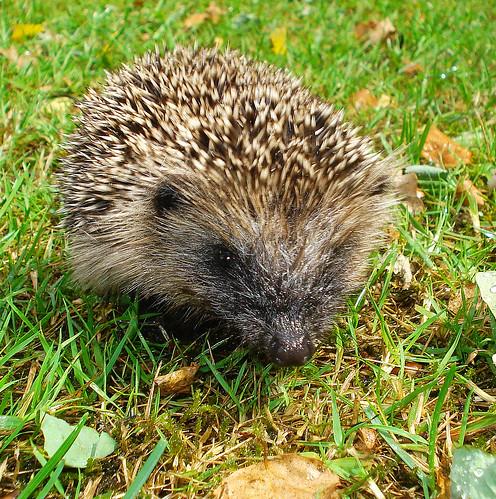 British Mamals - Hedgehog | by Mick E. Talbot