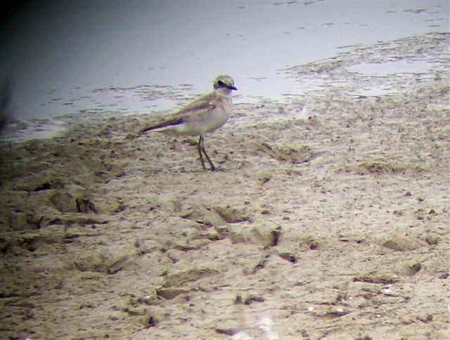 Sand-Plover near Staunton, Virginia, with update and links to more photos