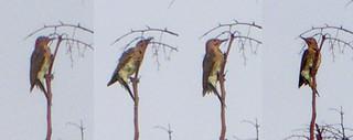 Identified - Male Northern Flicker