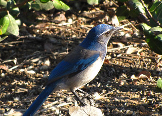 The Western Scrub Jay That Landed Too Close | by jpmckenna - Plotting 2020 Adventures