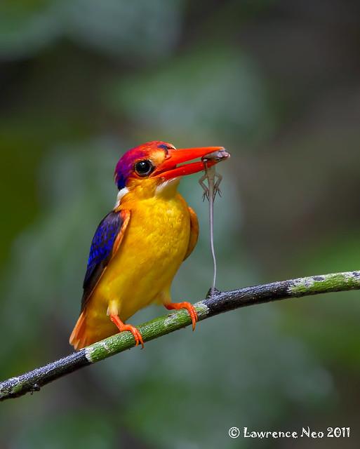 Black-backed Kingfisher (Ceyx-erithaca) @ KKC_20110618_0037