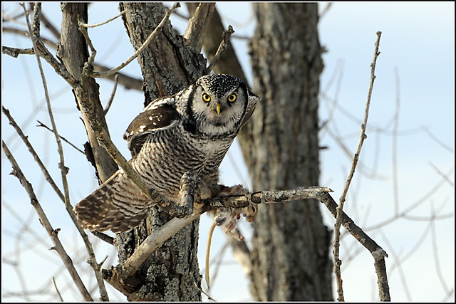 Owl (Northern Hawk) - 0145