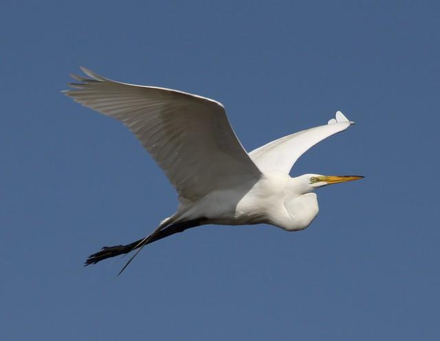 Great Egret Flyby