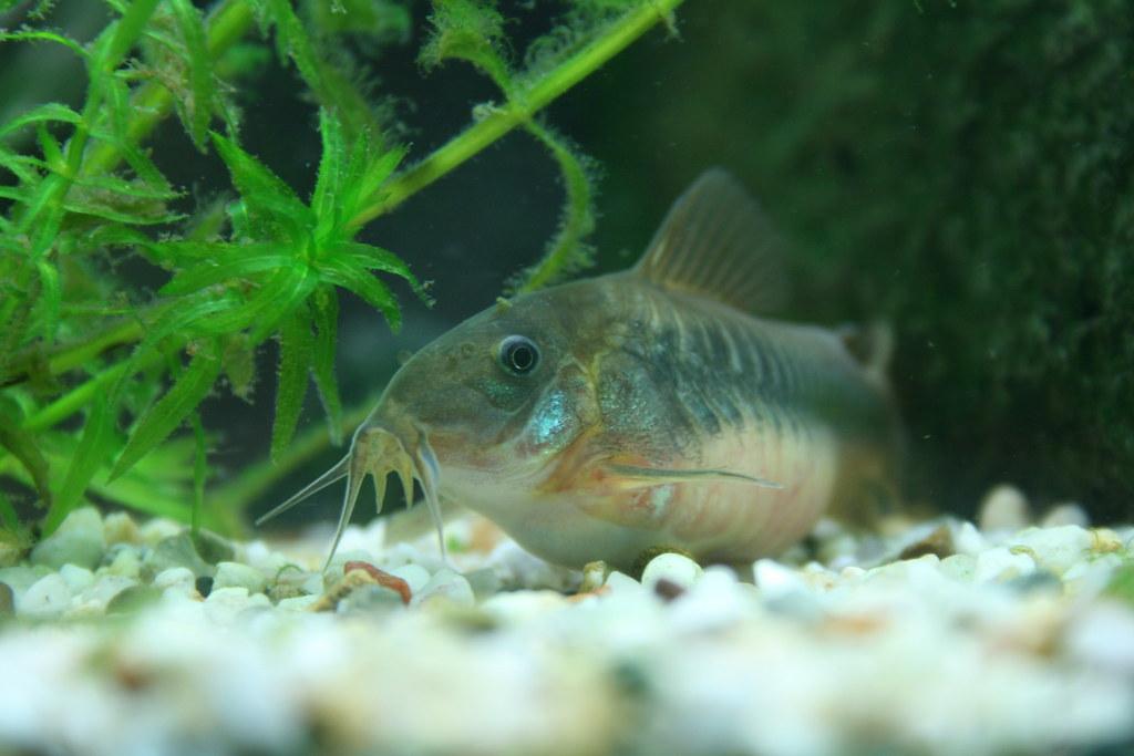 corydoras aeneus - bronze catfish close up   check out those…   Flickr