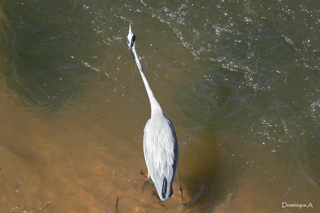 Héron cendré à la pêche dans le fleuve Allier